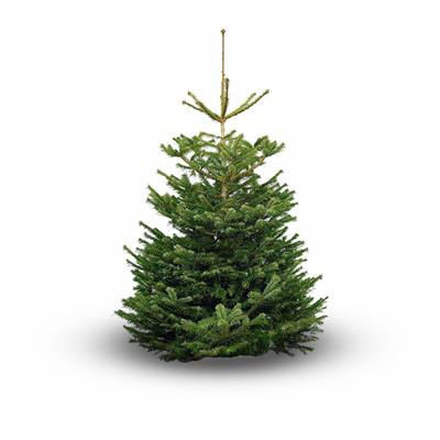 CHRISTMAS TREE NORDMANS  7FT 6IN